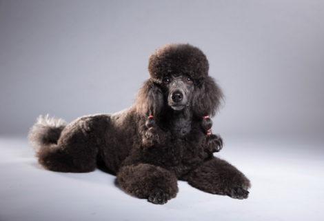 Syrius Kutyaiskola kistestű társasági kutyák foglalkozása 2018. május 20.