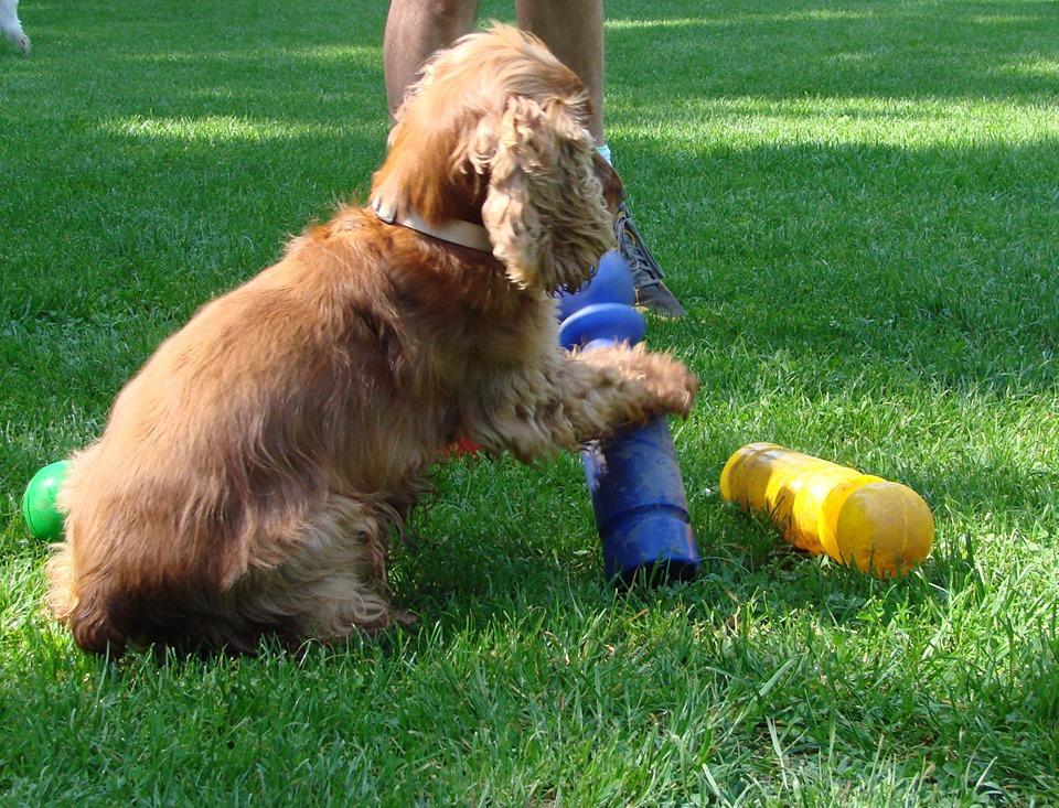 Syrius Kutyaiskola - kistestű társasági kutya képzés @ Syrius Kutyaiskola