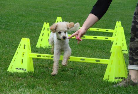 Syrius Kutyaiskola Társasági kutyák legközelebbi foglalkozása 08.25.vasárnap