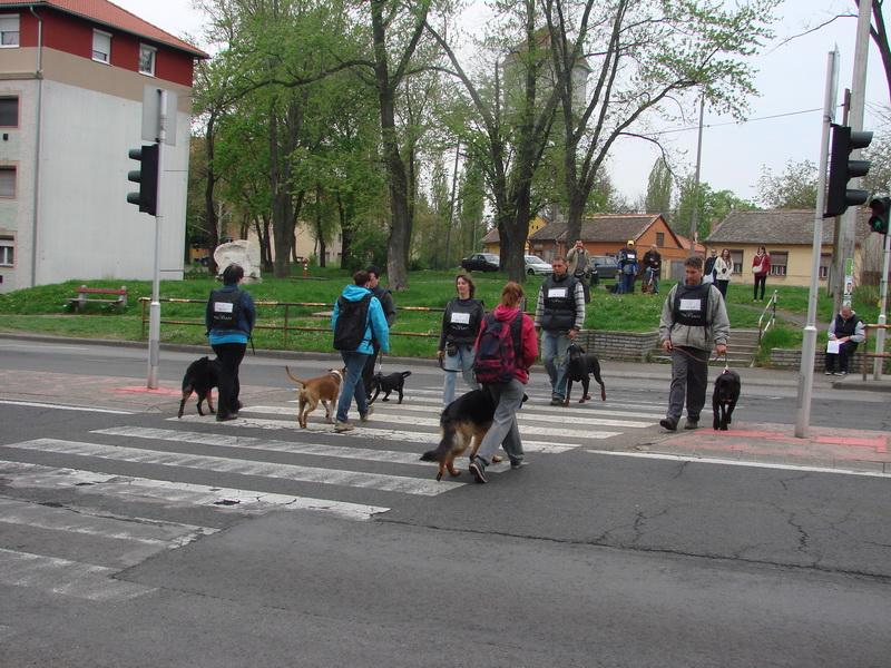 Syrius Kutyaiskola kutyákkal a városi forgalomban